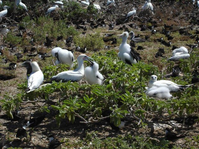 Red-footed boobies Picture
