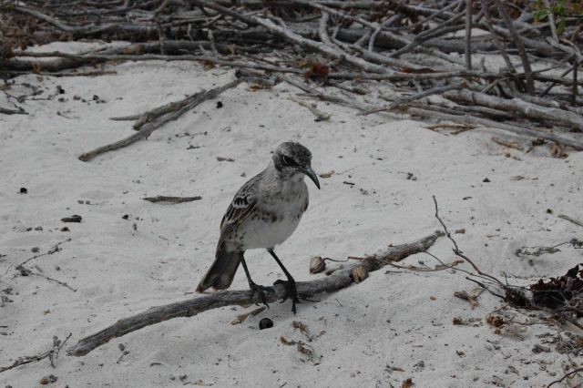 Hood Island mockingbird. Picture
