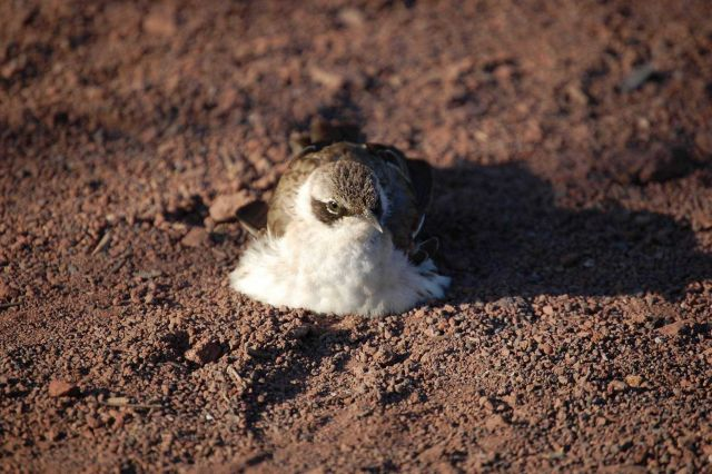 Galapagos mockingbird on red gravel. Picture