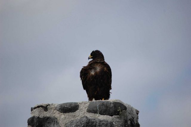 Galapagos hawk. Picture