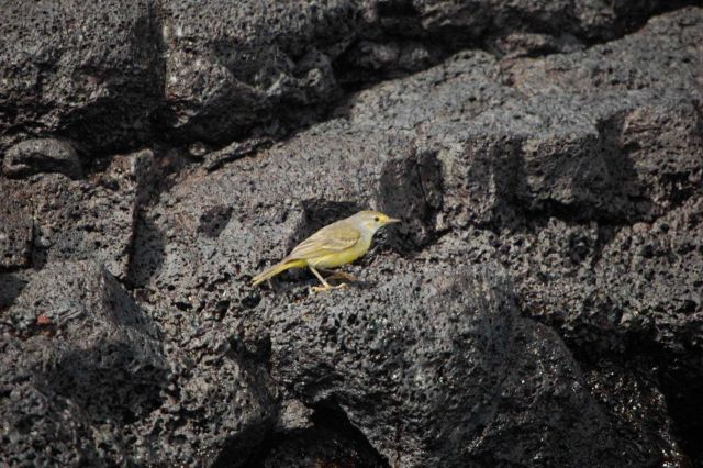 Female yellow warbler. Picture