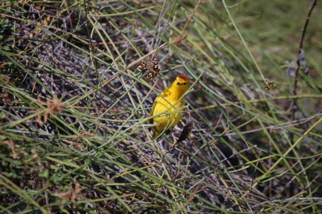 Male yellow warbler. Picture