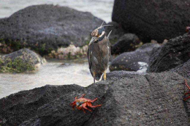 Yellow crowned night heron. Picture