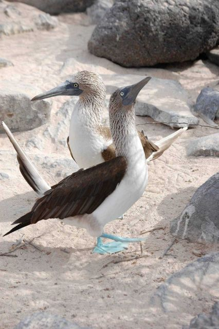 Courting blue-footed boobies. Picture