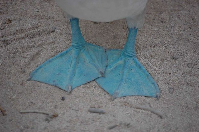The blue feet of a blue-footed booby. Picture