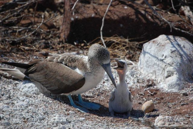 A blue-footed booby and its chick. Picture