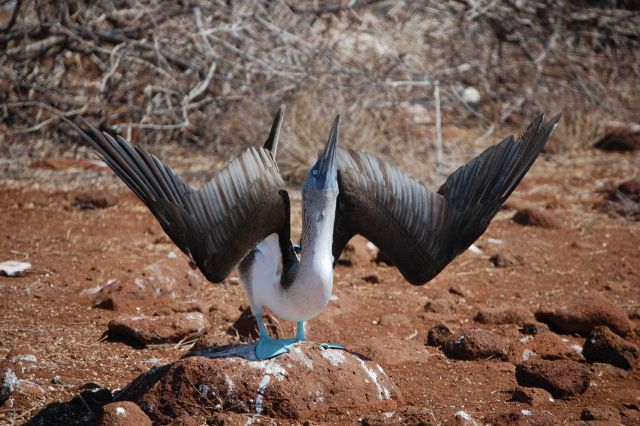 Courting dance of the blue-footed booby. Picture