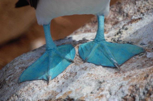 Wonder why they're called blue-footed boobies? Picture