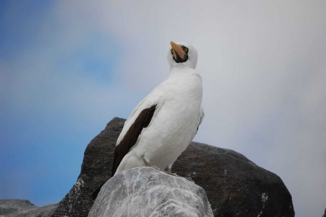 Nazca booby on a rock perch. Picture