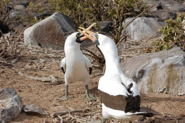 A pair of Nazca boobies in a mating dance. Picture