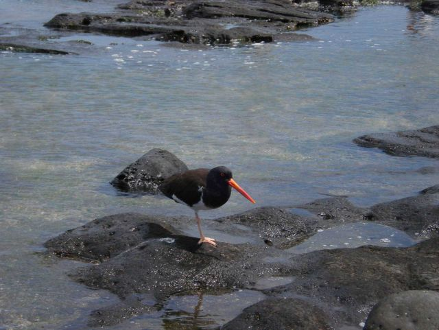 American oystercatcher. Picture