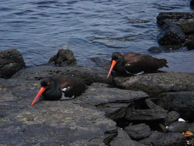 A pair of American oystercatchers. Picture