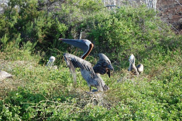 Pelicans in nesting area. Picture