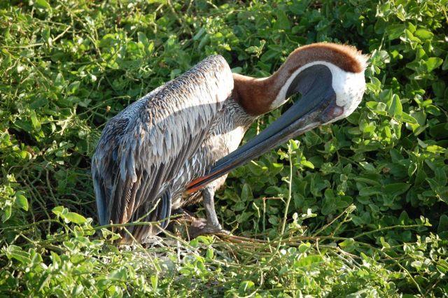 Pelican in nesting area. Picture