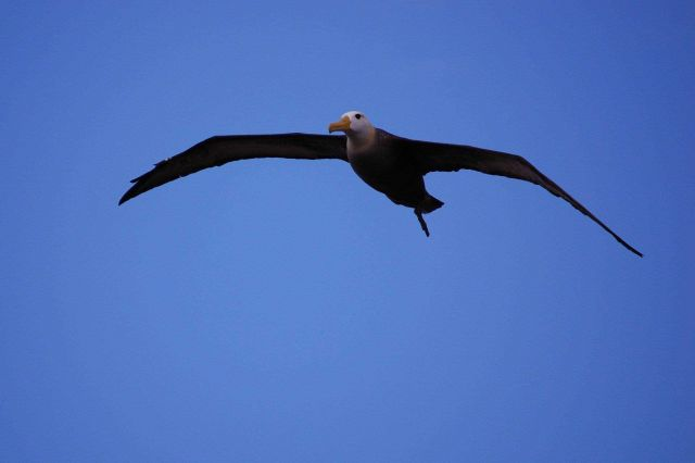 Adult waved albatross in flight. Picture