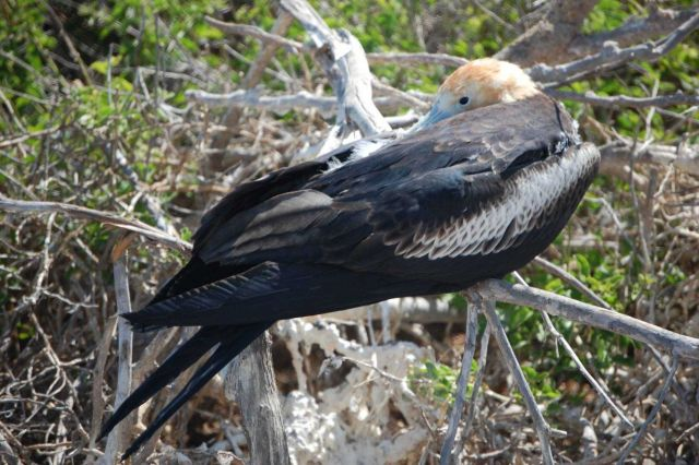 Juvenile great frigatebird. Picture