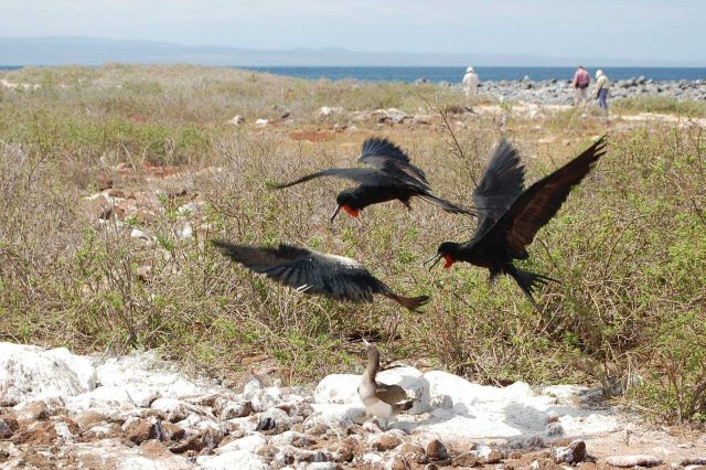 Food fight - great frigatebirds stealing food from booby. Picture
