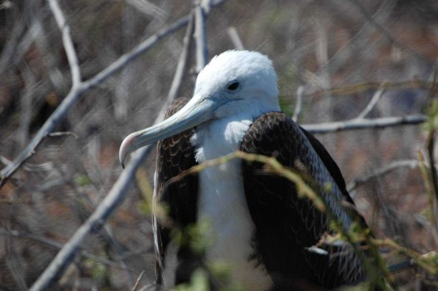Juvenile magnificent frigatebird. Picture