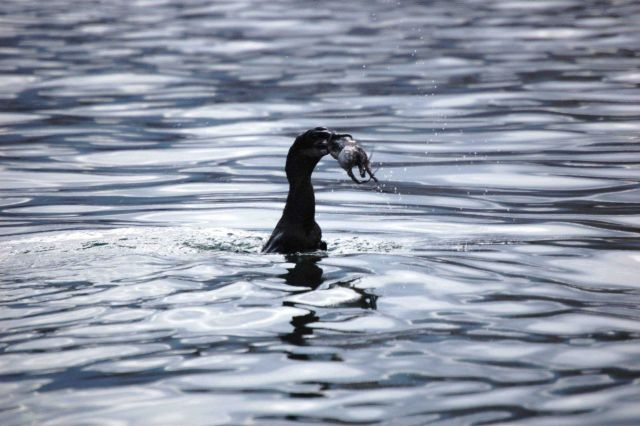 Flightless cormorant with octopus dinner. Picture