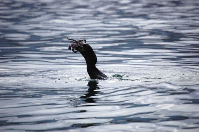 Flightless cormorant with octopus dinner. Picture