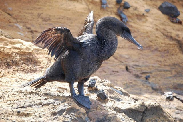 Flightless cormorant drying wings. Picture