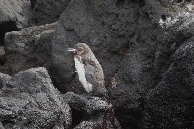 Galapagos penguin. Picture