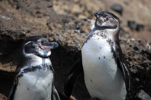 Galapagos penguins. Picture
