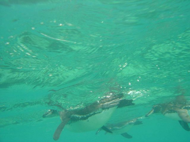 Galapagos penguins viewed from underwater. Picture