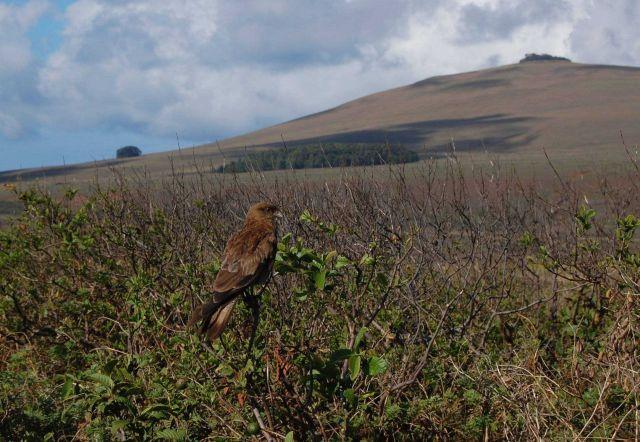 Hawk on a bush. Picture