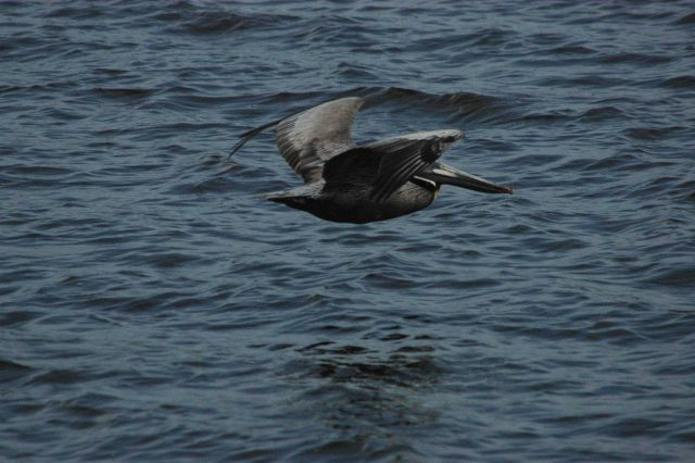 Brown pelican skimming the water Picture