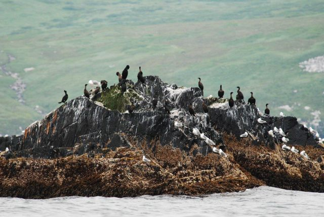 Gulls and cormorants perched on an offshore rock Picture