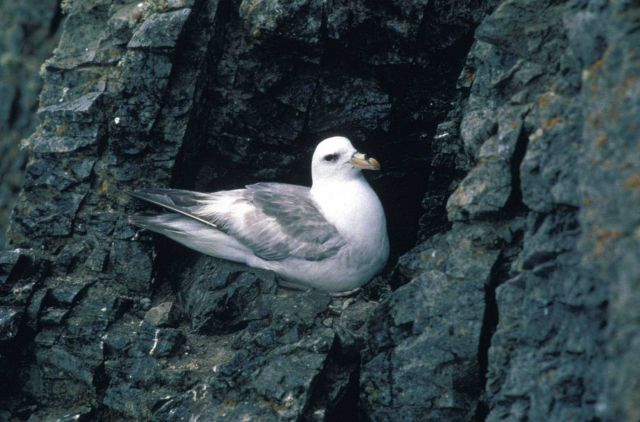 Northern fulmar Picture