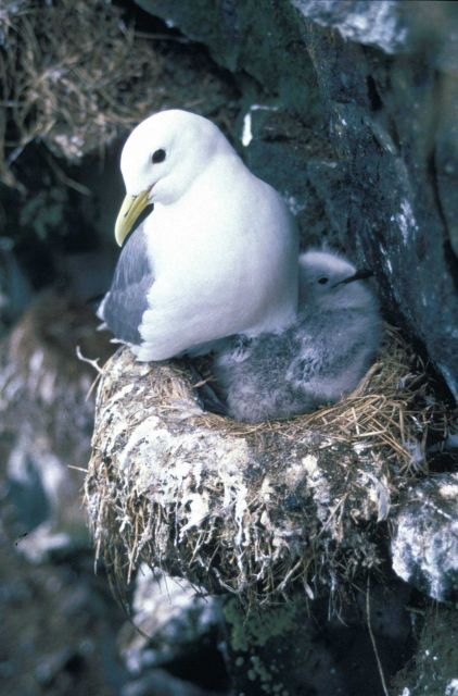 Black-legged kittiwake with chick Picture