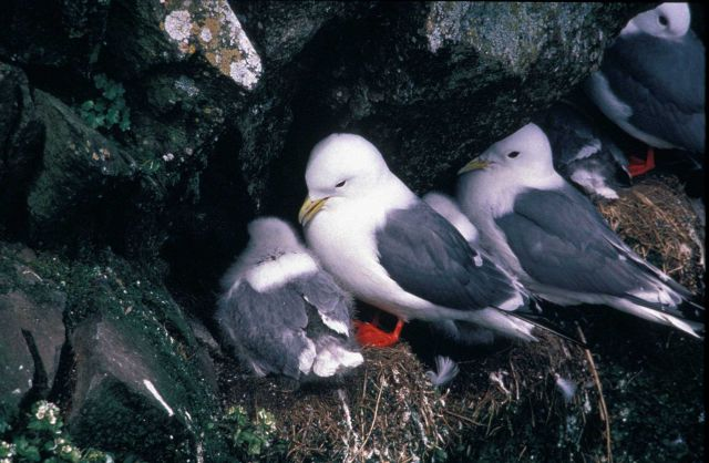 Red legged kittiwake nests Picture