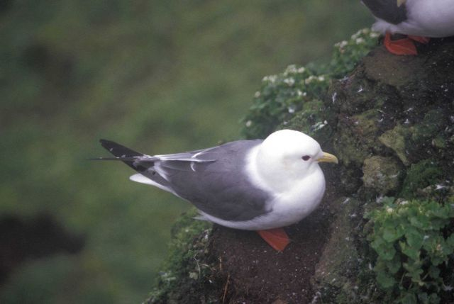 Red legged kittiwake Picture