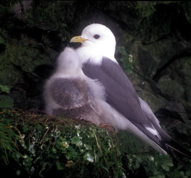 Kittiwake and large chick Picture