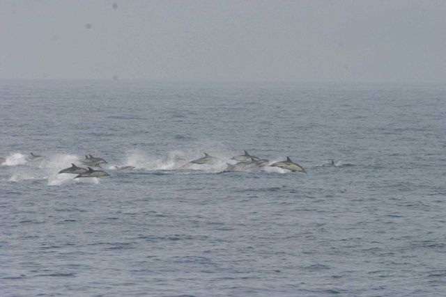 A pod of dolphin chasing dinner. Picture