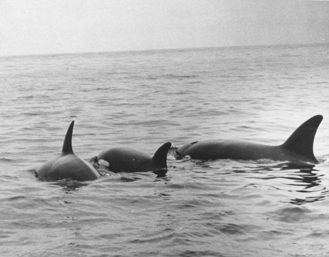 A pod of killer whales (Orcinus orca) Picture