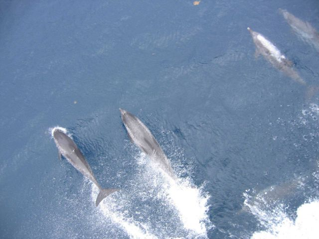 Porpoise riding the bow wave of the NOAA Ship THOMAS JEFFERSON. Picture