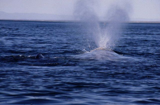 Gray whale blowing with calf by side. Picture