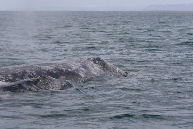 Gray whale and calf. Picture