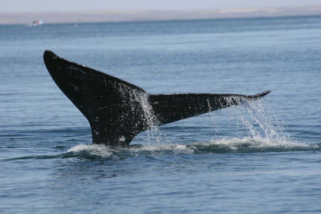 Gray whale flukes Picture