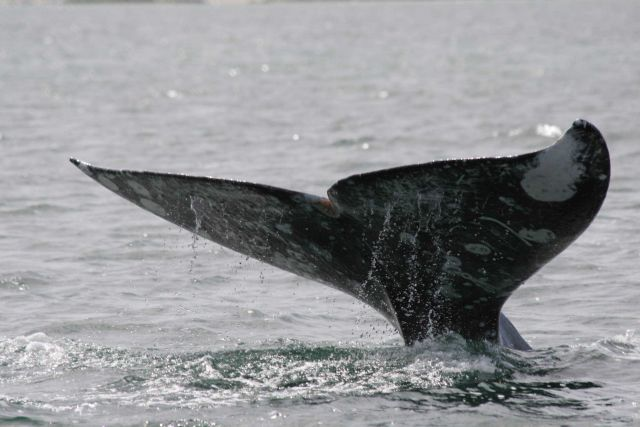 Flukes of gray whale Picture