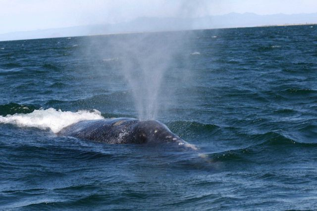 Gray whale blowing. Picture