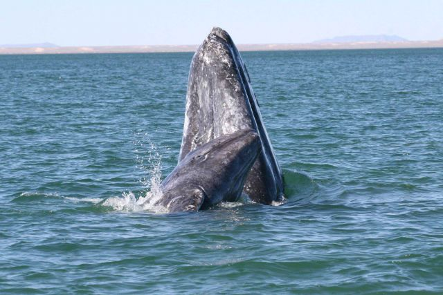 A mother gray whale and calf spy-hopping. Picture