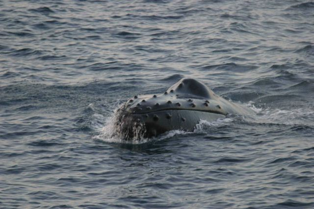 Whale studies off the NOAA Ship DELAWARE II. Picture