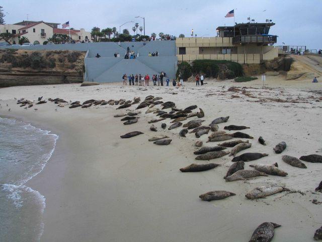 Harbor seals taking over the cove at La Jolla. Picture