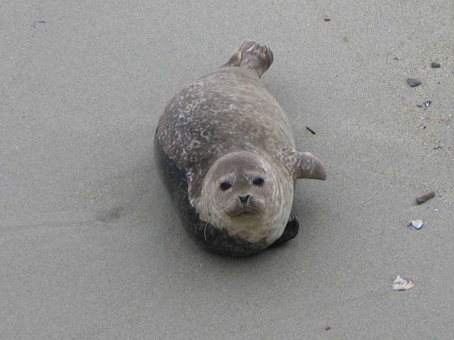 A harbor seal pup. Picture