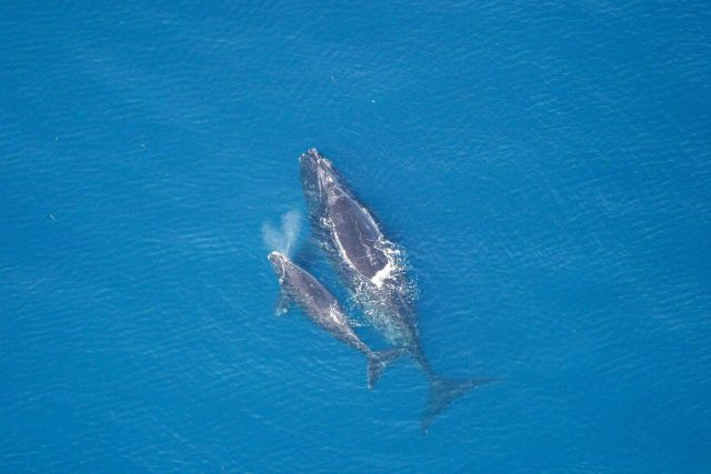Whale and calf. Picture