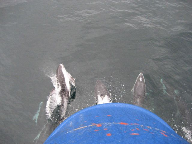 Dolphin riding the bow wave of the merchant vessel Coastal Nomad. Picture